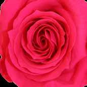 Rosa Oscuro