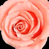 Rosa Vintage