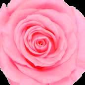 Rosa Nupcial